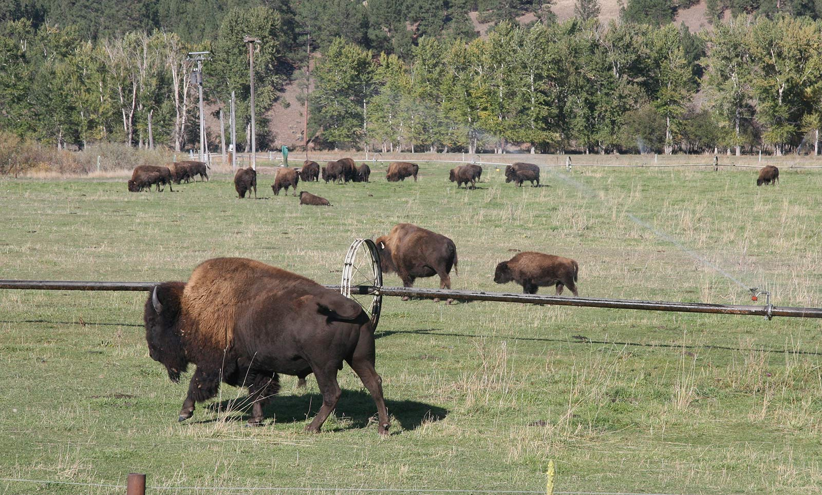 Bison can be spotted on the Bitterroot Trail